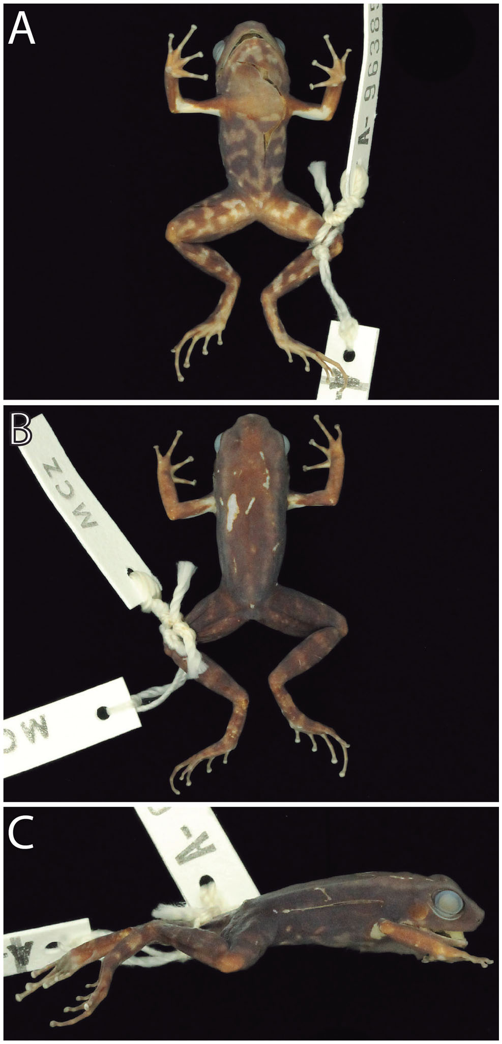 Phylogenetic Systematics of Dart-Poison Frogs and Their