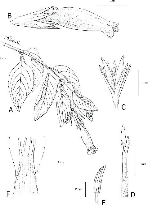 Taxonomic Revision Of Ruellia Section Chiropterophila Acanthaceae