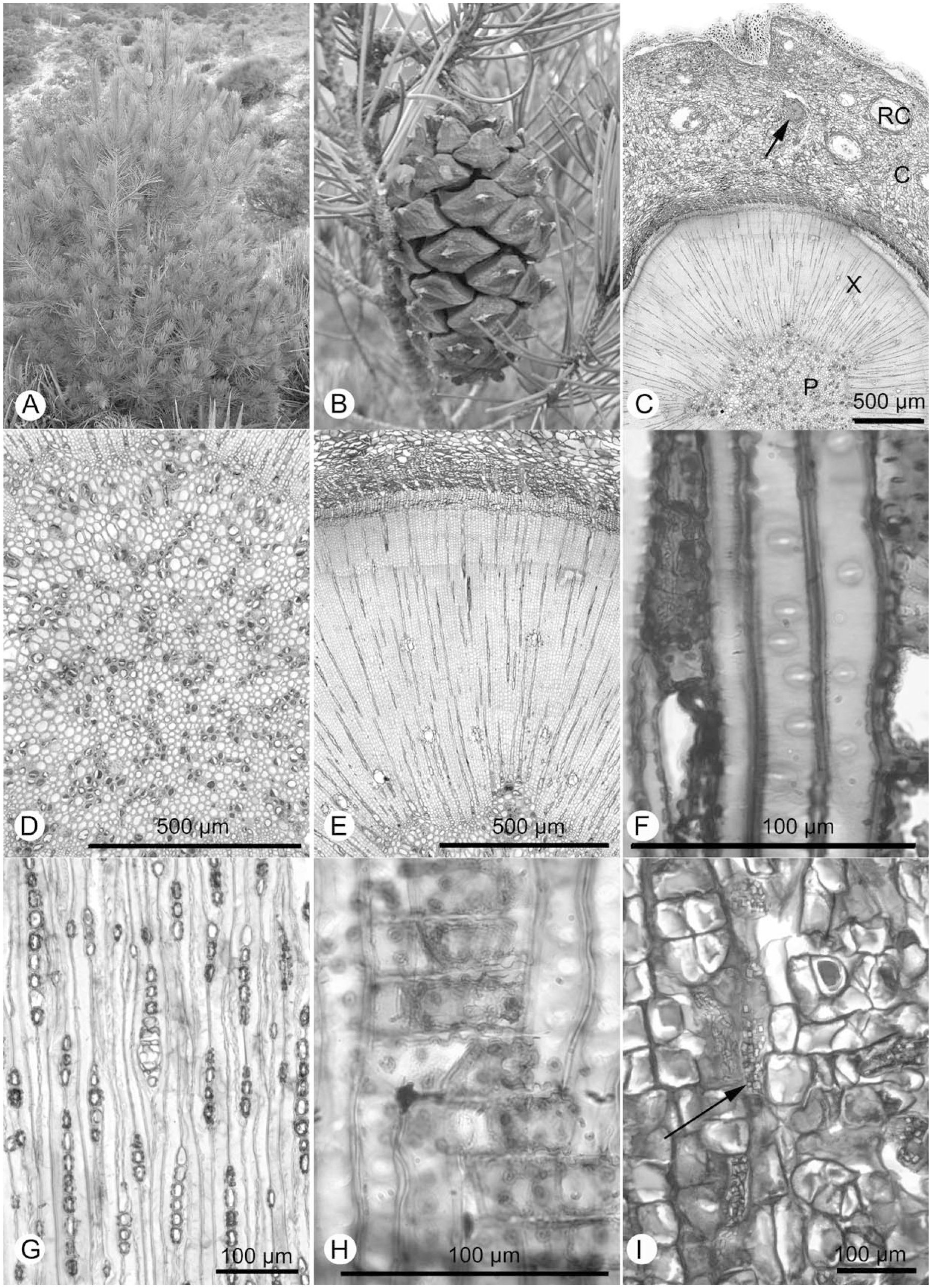 Pinus nelsonii and a Cladistic Analysis of Pinaceae Ovulate Cone