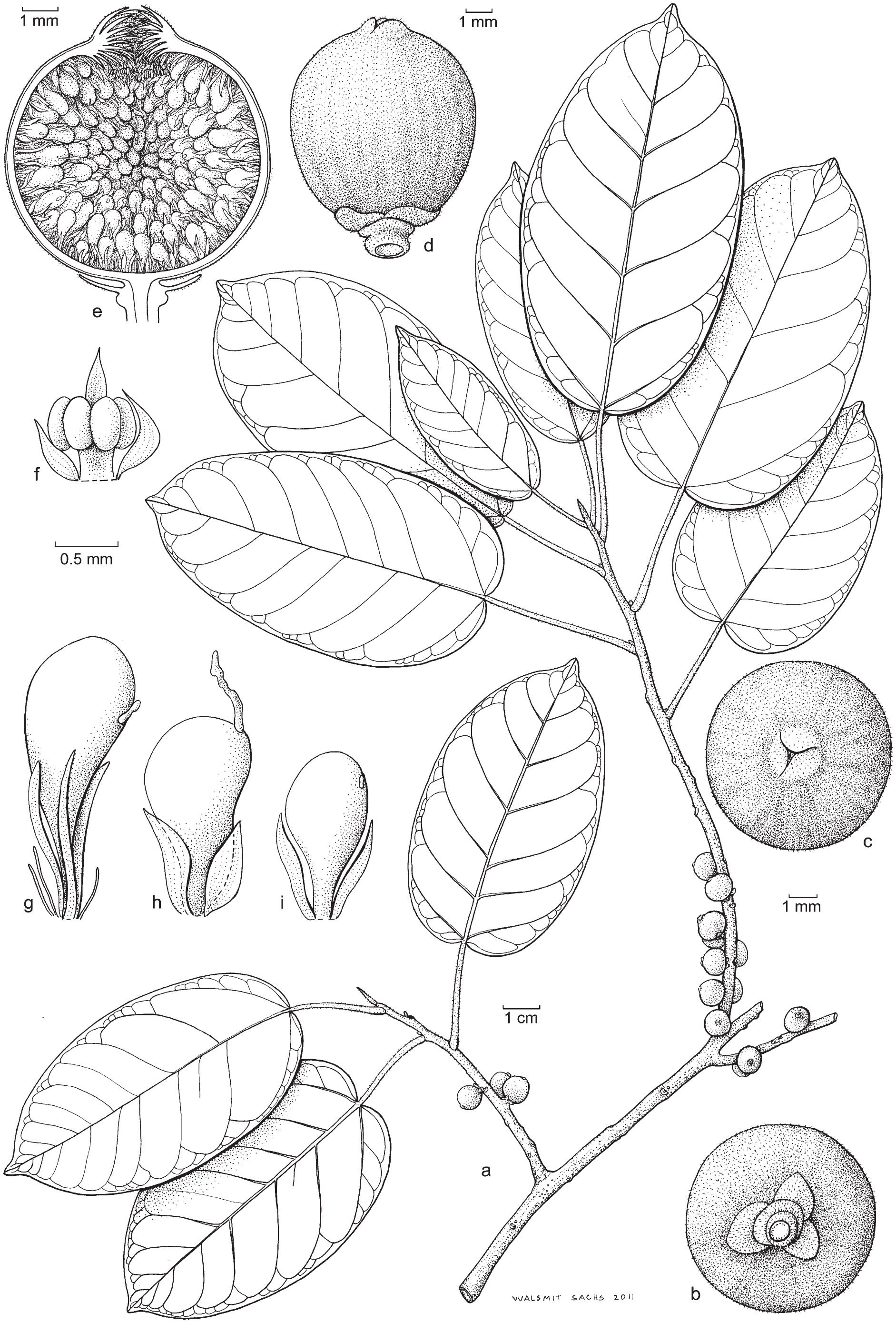 A Revision of Ficus Subsection Urostigma (Moraceae)