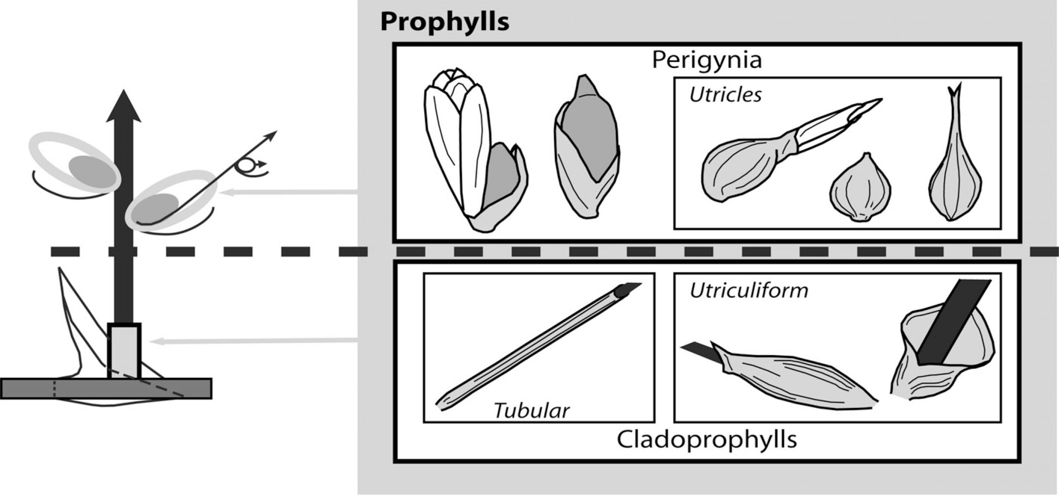 Clarification of the Use of the Terms Perigynium and Utricle in