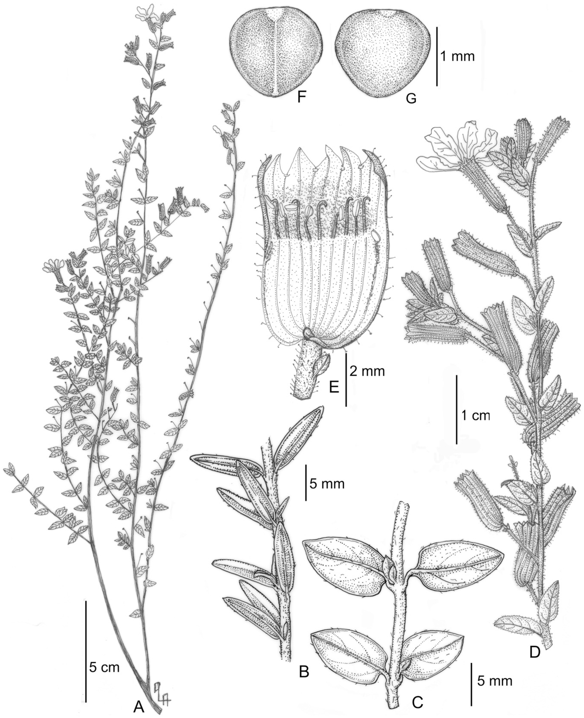 A Revision Of Cuphea Section Brachyandra S S Lythraceae
