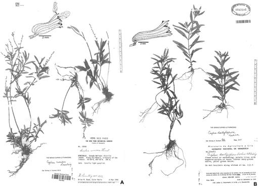 A Revision of Cuphea Section Amazoniana s  s  (Lythraceae)