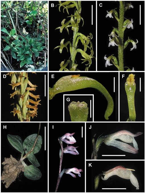 Polyphyly Of Mesadenus Orchidaceae Spiranthinae And A New