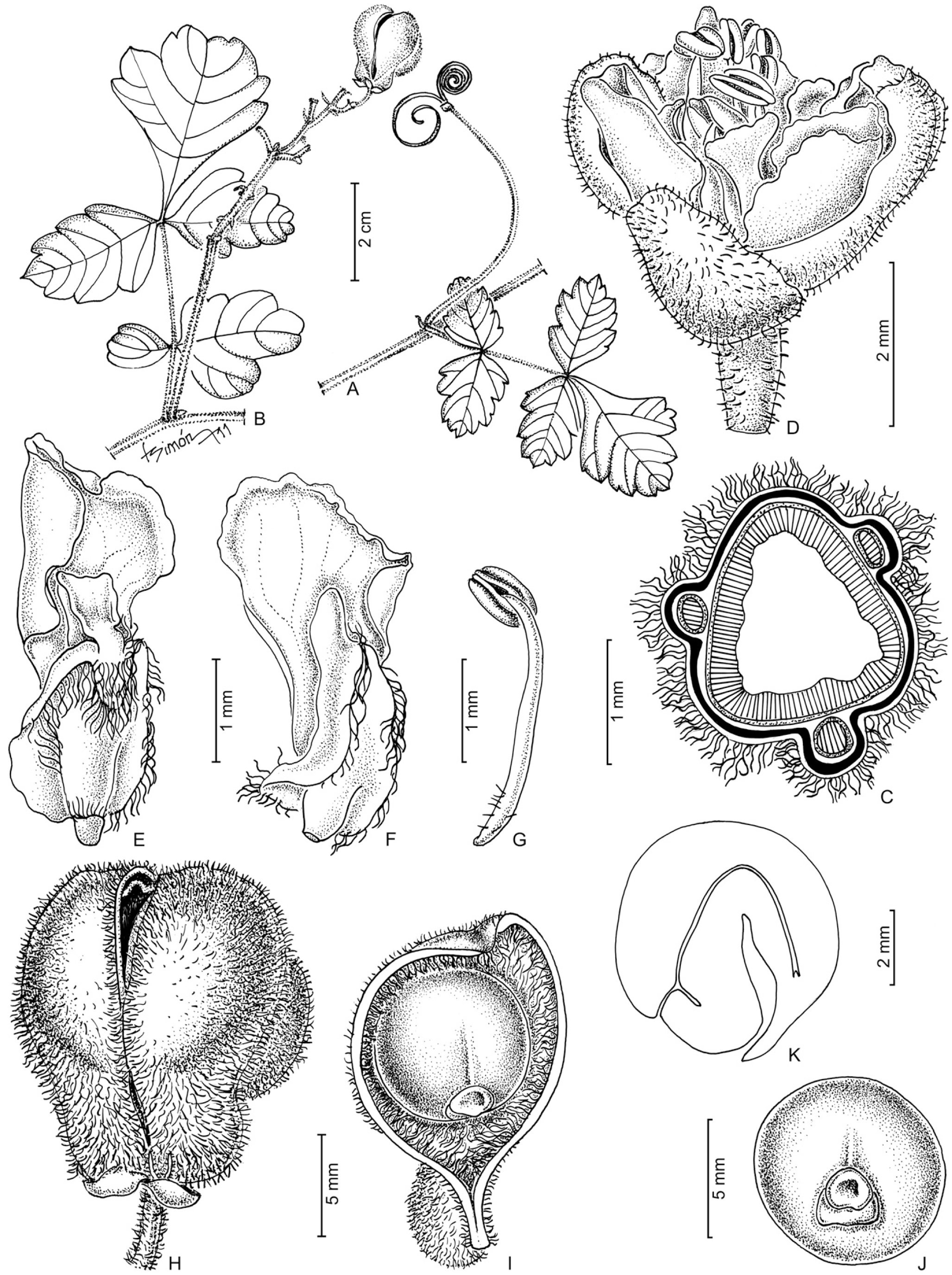 Two new species of serjania sapindaceae from michoacán