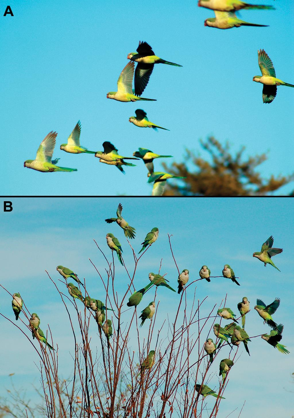 The socioecology of Monk Parakeets: Insights into parrot