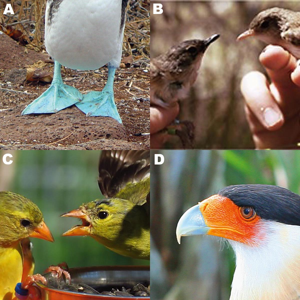 The role of bare parts in avian signaling