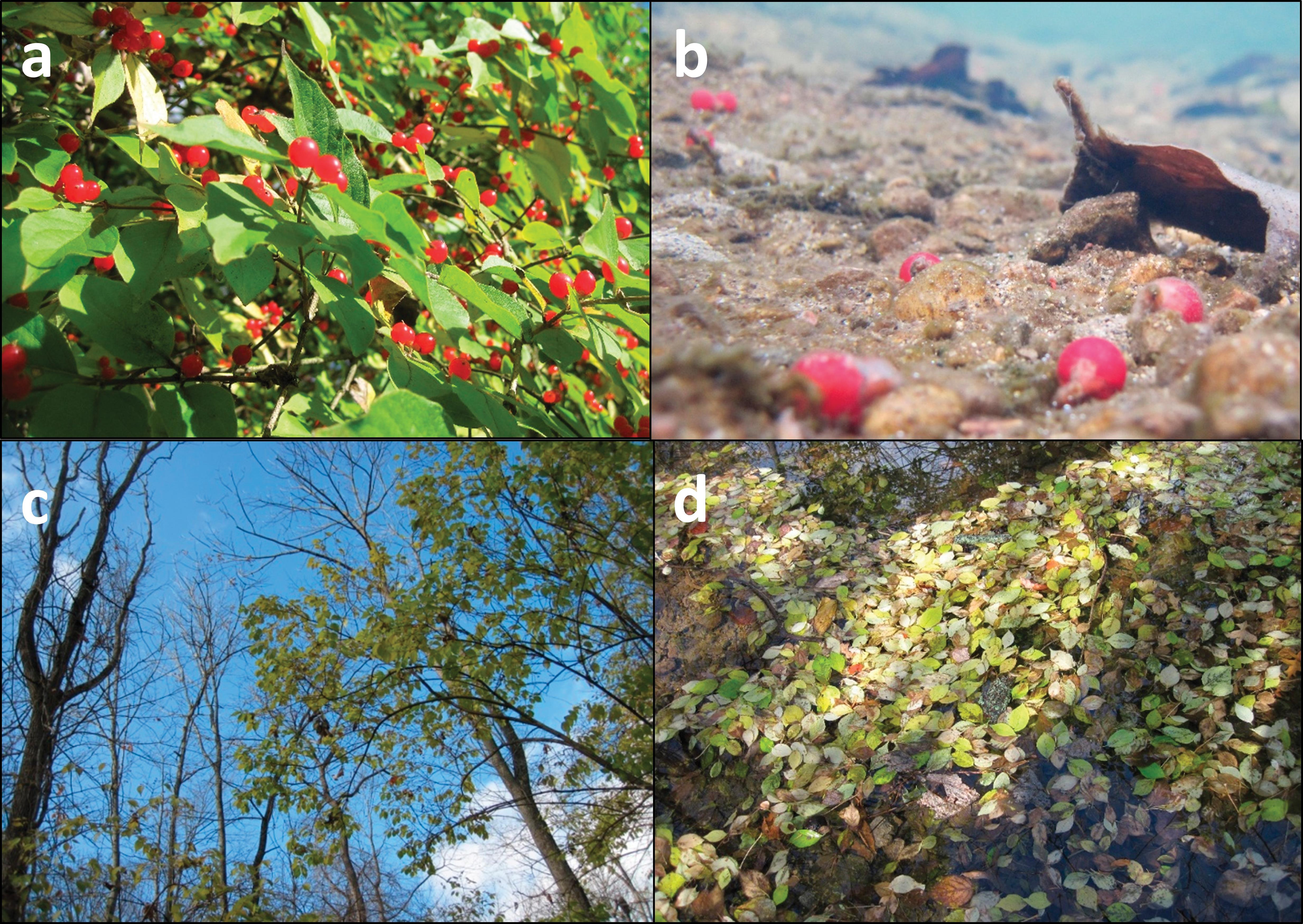 A review on the invasion ecology of Amur honeysuckle (Lonicera