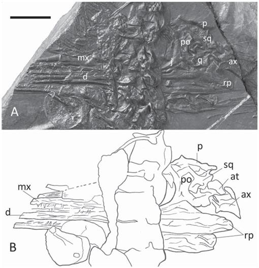 A Long-Snouted Protorosaur from the Middle Triassic of