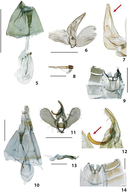 Two New Species of Petrophila Guilding (Lepidoptera