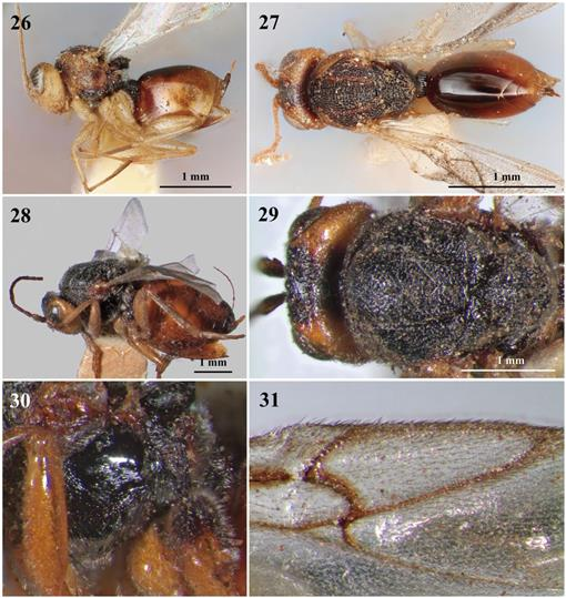 Review of the Synergus Hartig Species (Hymenoptera