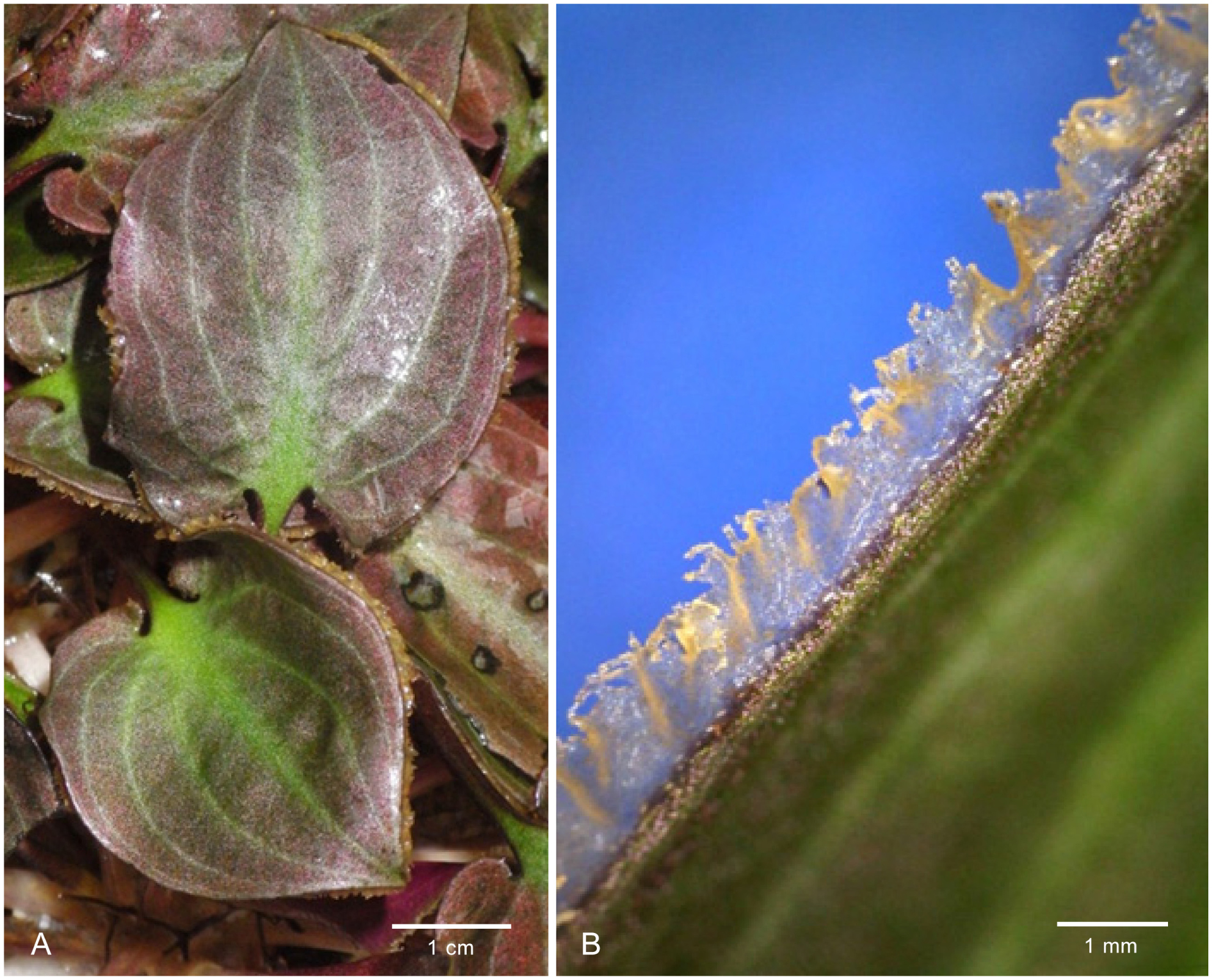 Cryptocoryne aura (Araceae), a new species from West Kalimantan
