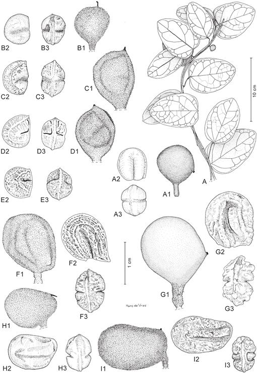 Re-evaluating the Upper Guinean species of Triclisia