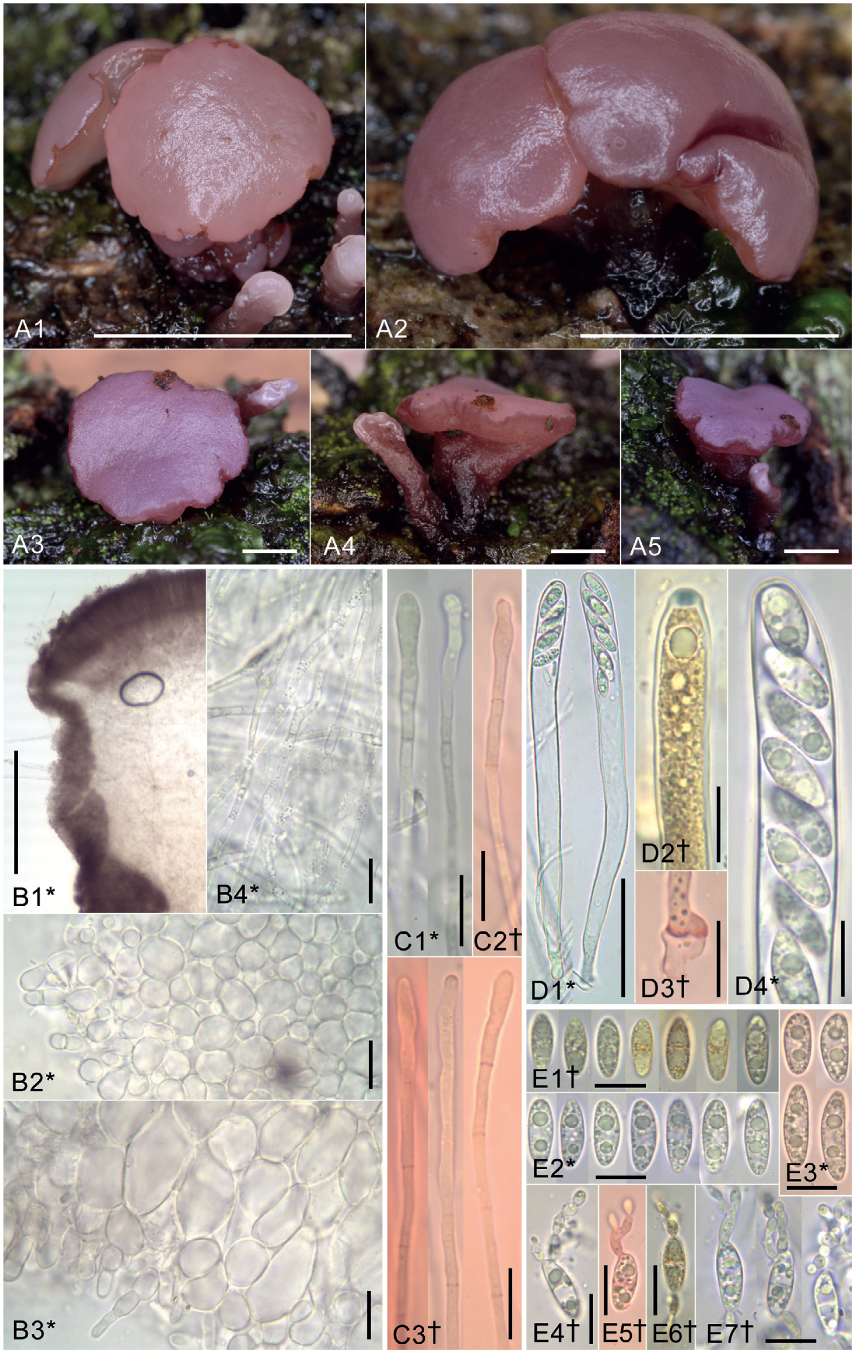 Lignicolous species of Helotiales associated with major