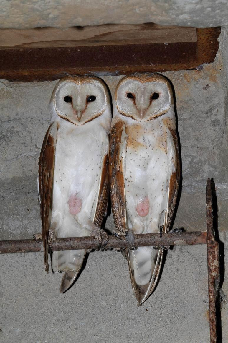 26d7260a A Record of Communal Nesting in the Barn Owl (Tyto alba)