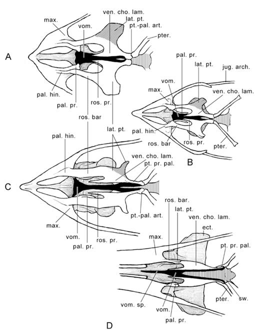 Introduction To The Skeleton Of Hummingbirds Aves Apodiformes