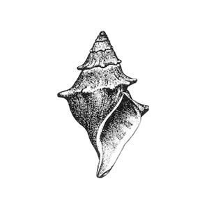 American Malacological Society Logo